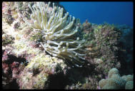 Sea anemone, Grand Cayman