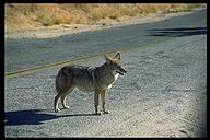 Coyote. Joshua Tree NP, California