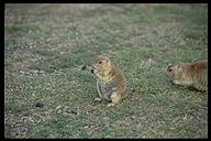 Prarie dogs. Devil's Tower NP, Wyoming