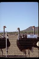 Ostrich farm, Arizona