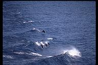Dolphins playing. Off the Pacific coast of Panama