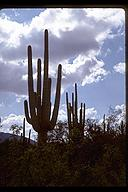 Stately saguaro. Saguaro National Park, Arizona